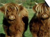 Highland Cattle, 9 Month Old Calves, Scotland Poster by Alastair Shay