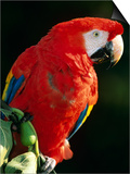 Scarlet Macaw Posters by Niall Benvie