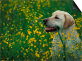 Labrador Retriever Sitting Among Flowers Print by Adriano Bacchella