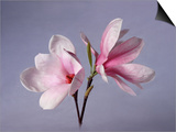 Two Japanese Magnolias, Magnolia Liliiflora Prints by Diane Miller