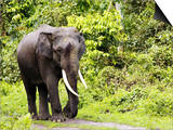Asian Elephant, Male Walking on Track, Assam, India Prints by David Courtenay