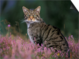 Wild Cat Portrait Amongst Heather, Cairngorms National Park, Scotland, UK Prints by Pete Cairns