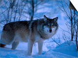 European Grey Wolf Male in Snow, C Norway Poster by Asgeir Helgestad