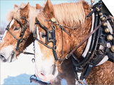 Belgian Draft Horses in Winter, WI Art by Sally Moskol
