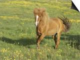 Icelandic Horse Running Across Meadow, Iceland Art by Mark Hamblin