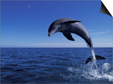 Bottlenose Dolphin Leaping, Bahamas Print by John Downer