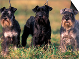 Domestic Dogs, Three Miniature Schnauzers on Leads Prints by Adriano Bacchella