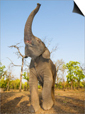 Asian Indian Elephant Holding Trunk in the Air, Bandhavgarh National Park, India. 2007 Posters by Tony Heald