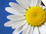 Marguerite / Ox Eye Daisy (Leucanthemum Vulgare) UK Prints by Pete Cairns