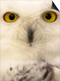 Close-Up of a Snowy Owl Poster by Abdul Kadir Audah