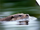 European River Otter Swimming, Otterpark Aqualutra, Leeuwarden, Netherlands SwitchArt&#8482 PrintNiall Benvie