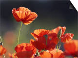 Common Poppy, Red Petals Backlit in Early Morning Light, Scotland Posters by Mark Hamblin