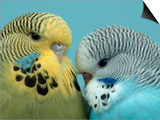 Budgerigar Pair Courting Prints by Petra Wegner