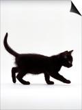Domestic Cat, 9-Week Black Kitten Profile Walking Posters by Jane Burton