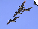 Four Brown Pelicans Flying in Formation, North of San Francisco Poster by Diane Miller