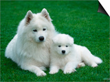 Samoyed with 6 Weeks Old Puppy Posters by Petra Wegner