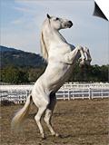 Grey Andalusian Stallion Rearing, Ojai, California, USA Art by Carol Walker