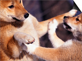 Domestic Dogs, Two Young Shiba Inus Playfighting Posters by Adriano Bacchella