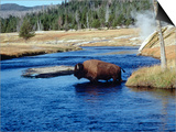 Bison Crossing the Firehole River, WY Art by Guy Crittenden