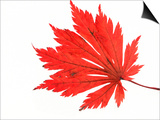 Japanese Maple Leaf in Autumn Colours Posters by Petra Wegner