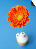 Orange Gerbera Flower Against a Blue Background Prints by Pearl Bucknall