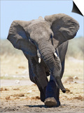 African Elephant, Charging, Etosha National Park, Namibia Poster by Tony Heald