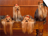 Domestic Dogs, Four Yorkshire Terriers on a Table with Hair Tied up and Very Long Hair Posters by Adriano Bacchella