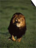 African Lion Walking in Grass Prints by Don Grall