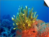 Yellow Featherstars on Sponge, Indo-Pacific Prints by Jurgen Freund