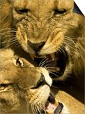 Lions, Lion Pair Mating, Masai Mara, Kenya Prints by Roy Toft
