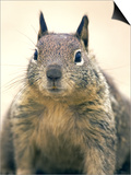 Beecheys Ground Squirrel, Close up Portrait, California, USA Poster by David Courtenay