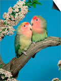 Pair of Peach-Faced Lovebirds Poster by Petra Wegner