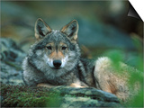 Young European Grey Wolf Resting, Norway Prints by Asgeir Helgestad