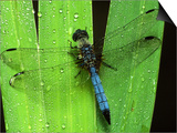 Dragonfly on a Leaf Prints by Harold Wilion