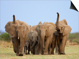 African Elephants, Using Trunks to Scent for Danger, Etosha National Park, Namibia Prints by Tony Heald