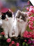 Domestic Cat, Black and Blue Bicolour Persian-Cross Kittens Among Pink Climbing Roses Prints by Jane Burton