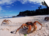 Coconut Crabs on Beach, Christmas Island Print by Jurgen Freund
