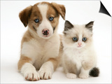 Blue-Eyed Red Merle Border Collie Puppy with Birman-Cross Kitten, Blue Eyes Art by Jane Burton
