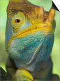Portrait of Male Parson's Chameleon, Ranomafana National Park, South Eastern Madagascar Prints by Nick Garbutt