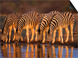Four Common Zebra, Drinking at Water Hole, Etosha National Park, Namibia Print by Tony Heald