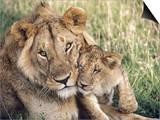 African Lion, Masai Mara Reserve, Kenya Posters af Richard Packwood