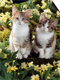 Tabby-Tortoiseshell-And White Kittens, 11-Week Sisters, Among Pink and Yellow Primroses Print by Jane Burton