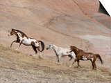 Two Paint Horses and a Grey Quarter Horse Running Up Hill, Flitner Ranch, Shell, Wyoming, USA Posters by Carol Walker