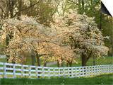 Dogwood Trees at Sunset Along Fence, Kentucky Prints by Adam Jones