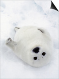 Harp Seal, Pup in Favorite Position on Its Back on Ice Pack, Nova Scotia, Canada Posters by Daniel J. Cox