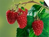 Raspberries Print by Petra Wegner