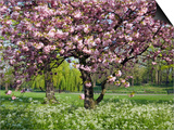 Cherry Tree, in Blossom, Regents Park, London, UK Posters by Georgette Douwma