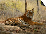 Bengal Tiger, Female Resting, Madhya Pradesh, India Sztuka autor Elliot Neep