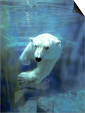 Polar Bear, Swimming Underwater, Quebec, Canada Posters by Philippe Henry