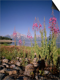 Wild Flowers, Jackson Lake, Grand Teton National Park, Wyoming, USA Posters by Geoff Renner